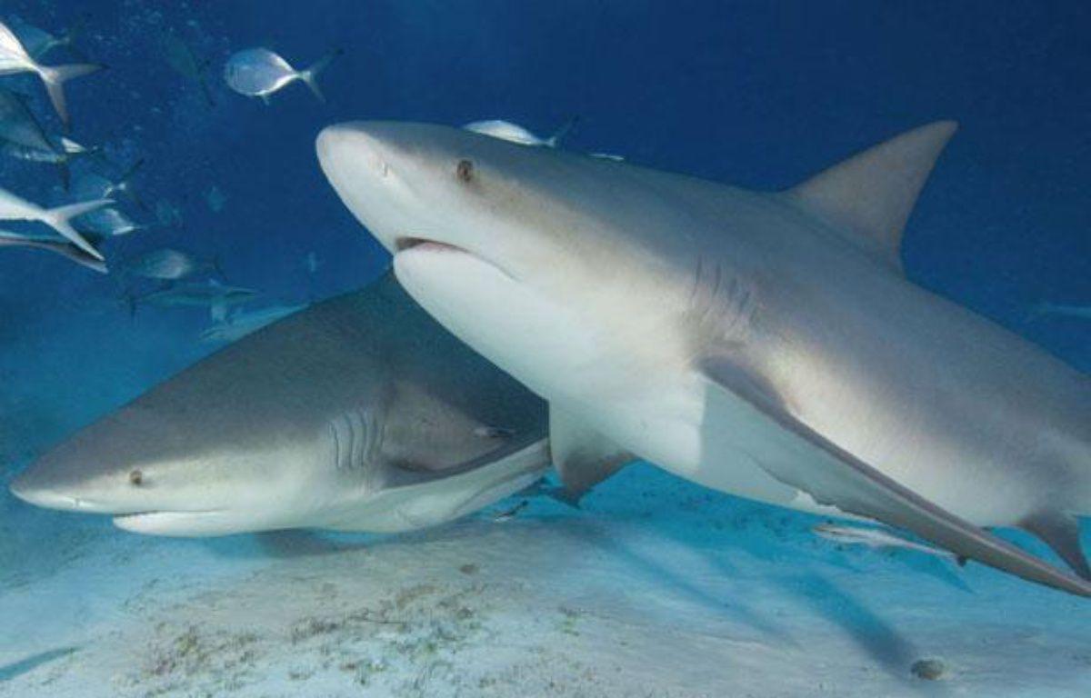 Deux requins bouledogues au large du Mexique – Visual & Written/SUPERSTOCK/SIPA