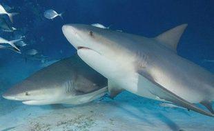 Deux requins bouledogues au large du Mexique