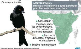 Le Drongo à raquette, un oiseau africain très futé