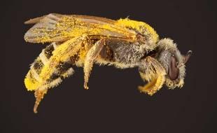 Une abeille de la sueur. Illustration.