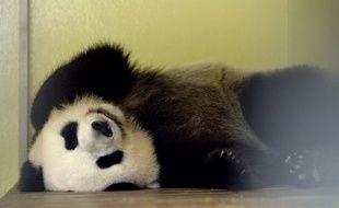 La femelle Huan Huan reste dans son box après son échographie, ce mercredi 26 juillet.