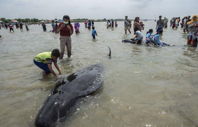 648x415 46 baleines pilotes peri echouees cote indonesie