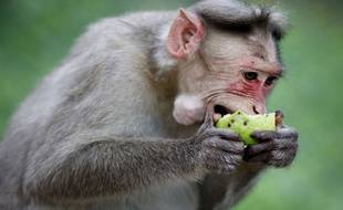 Illustration d'un singe en Inde le 19 octobre 2013.