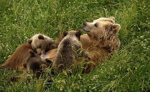 Un ours brun femelle et ses petits. Illustration.