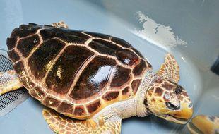 L'une des tortues soignées au CestMed au Grau-du-Roi.