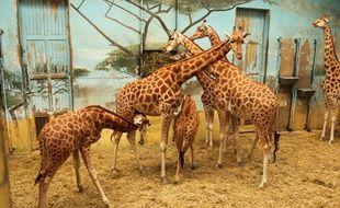 Les girafes du zoo de Vincennes sont restées dans leur enclos pendant les travaux de rénovation, le 7 décembre 2011.