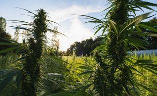 La ferme médicale exploite le premier champ de cannabis sans THC de Gironde