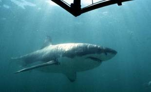 Un requin blanc dans la baie de Gansbaai, en Afrique du sud.