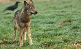 Au début du XIXe siècle, la Bretagne a compté jusqu'à 500 loups sur son territoire.