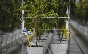 Plusieurs géants étrangers du secteur du cannabis thérapeutique sont prêts à fournir la France, qui met en place une expérimentation de deux ans, ouverte à 3.000 patients à compter de septembre prochain.