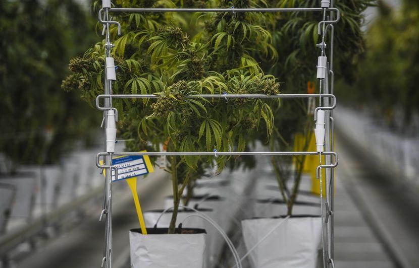Qui va fournir les traitements pour l'expérimentation du cannabis thérapeutique en France ?