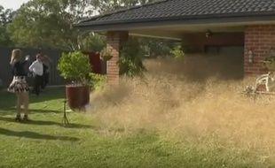Une herbe sèche envahit une région australienne.