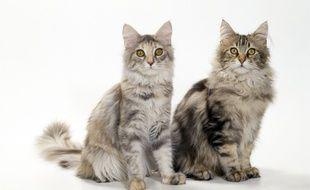 Illustration de chats de race Maine Coon