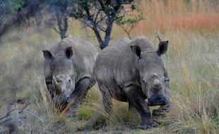 L'Afrique du Sud, confrontée à une explosion du braconnage de rhinocéros, a annoncé des mesures pour restaurer la crédibilité de la chasse légale, entamée par une sombre affaire de trafic criminel de trophées écoulés sur le marché noir de la corne en Asie