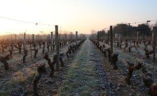 Le 22 janvier 2017, des pieds de vigne gelés dans le Médoc, près de Bordeaux