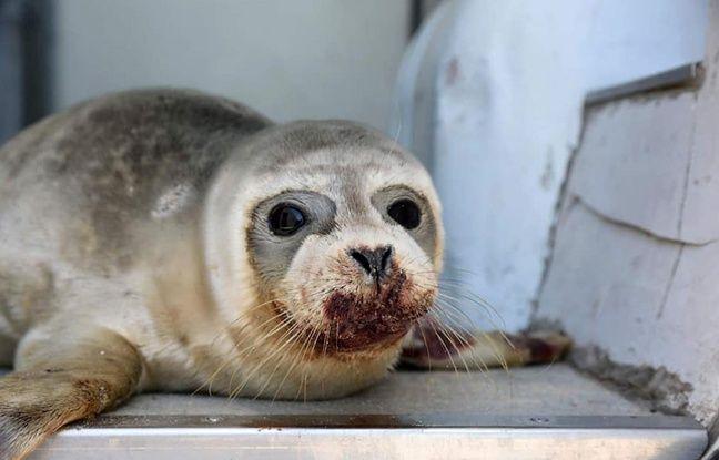 Nord: Frappé sur une plage, le jeune phoque a succombé à ses blessures