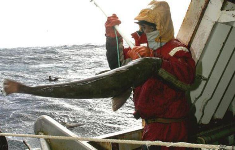 Les quotas de pêche à la légine devraient être réhaussés d'icideux à trois ans