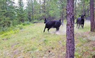 Un homme se fait attaquer par des vaches.