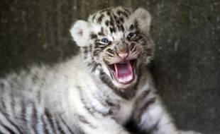 Les policiers ont retrouvé des jeunes tigres blancs dans des cages (image d'illustration).