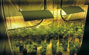 Une plantation de cannabis d'intérieur.