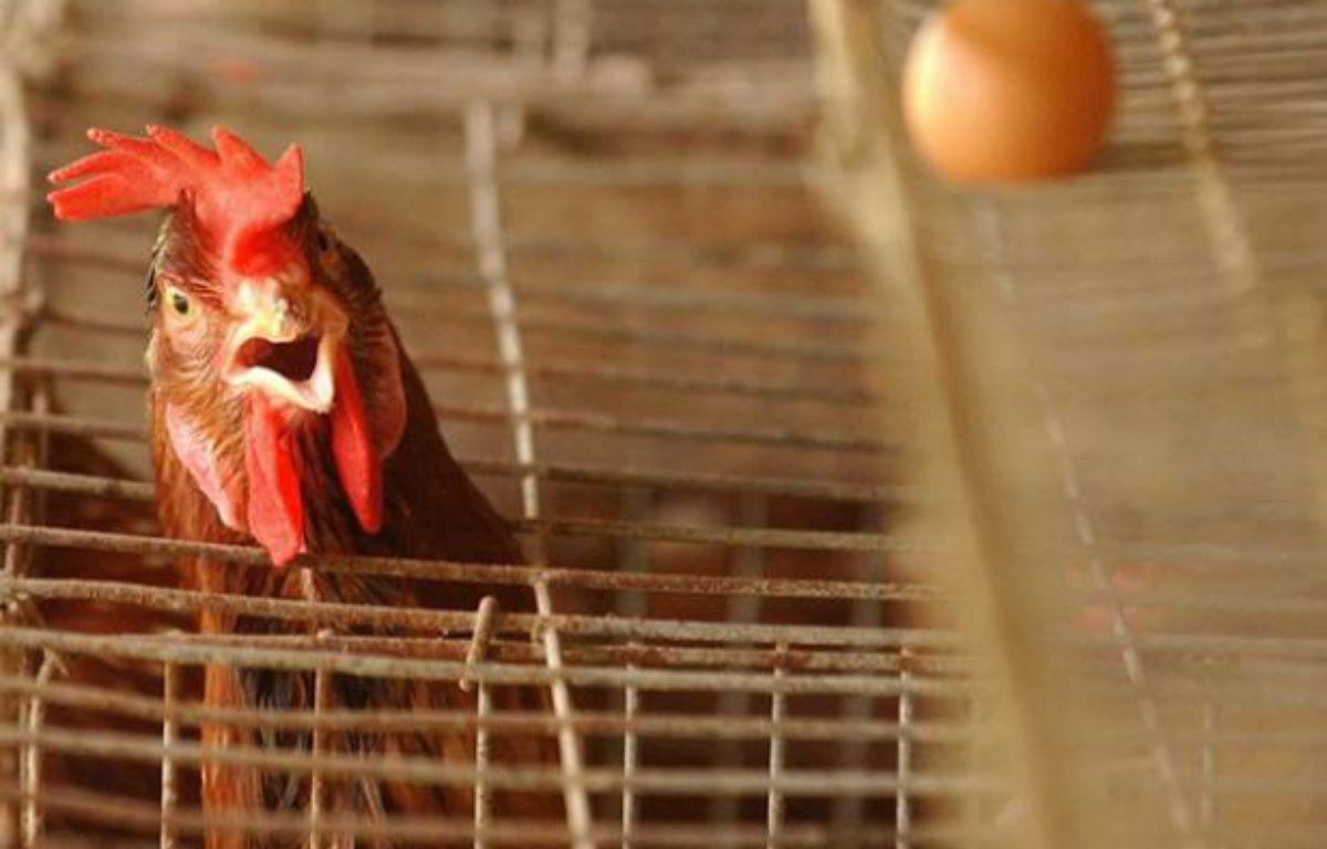 Un élevage de poules en batterie (illustration). – ZHUANG/SIPA