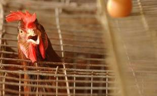 Un élevage de poules en batterie (illustration).
