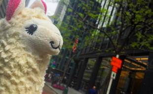 Un lama dans la ville