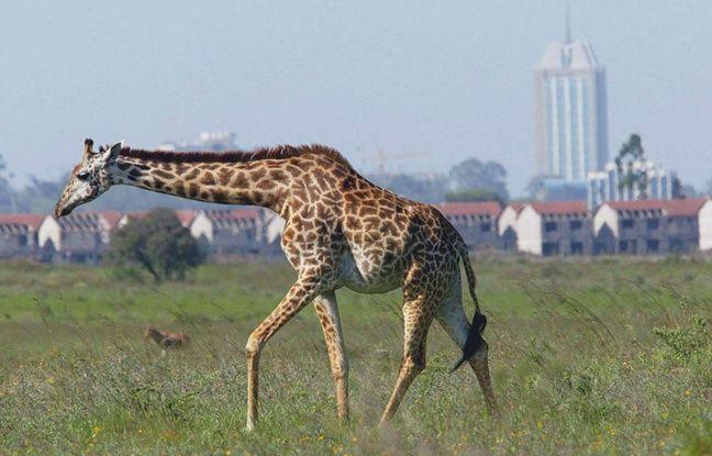 Une girafe dans le parc national de Nairobi, aux abords de la capitale kenyanne.