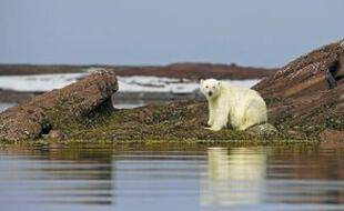 Un ours polaire sur l'archipel du Svalbard, en Norvège.