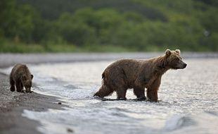 Des ours bruns dans la région du Kamtchatka, en Russie.