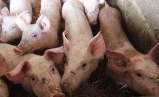 Illustration d'un élevage de porcs en Bretagne.