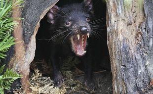 Un diable de Tasmanie, photographié en 2012 au zoo de Sydney, en Australie.