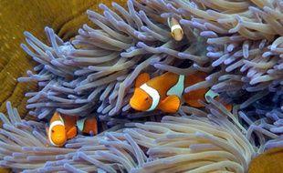 Des poissons nageant à travers le corail dans la grande barrière en Australie le 22 septembre 2014