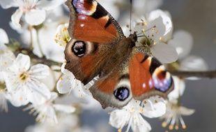 Un papillon Paon-du-jour photographié en Allemagne.