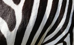 La robe du zèbre se caractérise par ses rayures verticales noires et blanches.