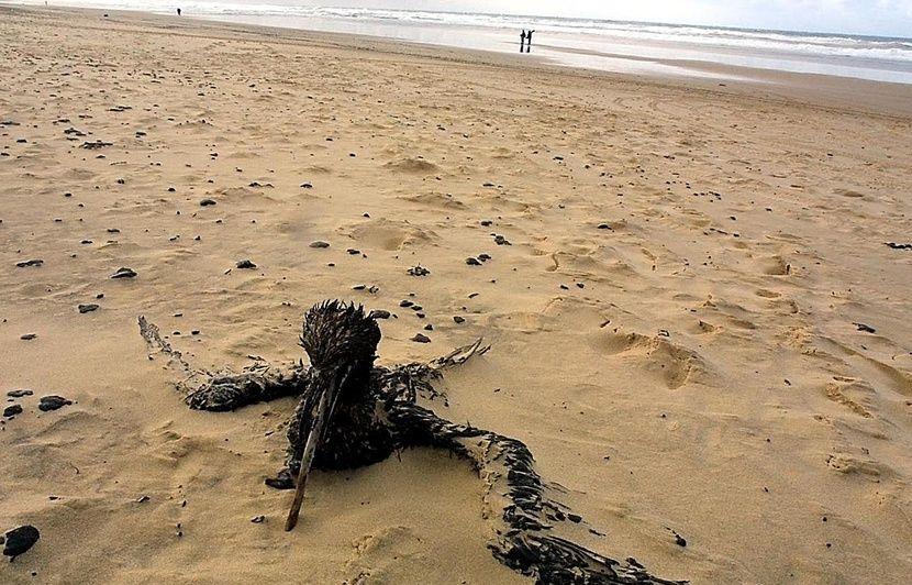 Finistère : Des oiseaux mazoutés retrouvés sur des plages