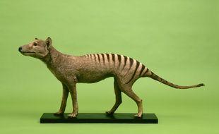 Le thylacine est aussi appelé Tigre de Tasmanie.