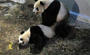 Accouplement de deux pandas au zoo de Tokyo, le 11 mars 2013.