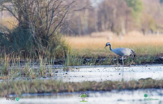 Grue cendrée sur le domaine de l'étang de Cousseau, dans le Médoc