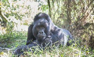 Un gorille des montagnes en Ouganda (illustration).
