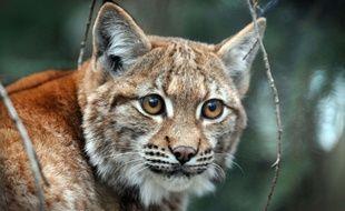 Le lynx boréal n'est pas un animal vraiment craintif, encore moins dangereux, mais en revanche très discret.