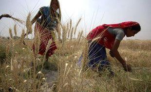 Récolte de blé en Inde, en mars 2009.
