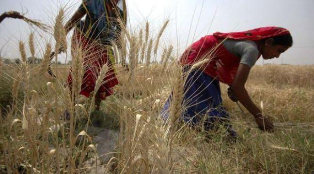 Récolte de blé en Inde, en mars 2009. – Ajit Solanki/AP/SIPA