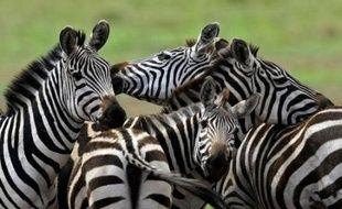 Les réserves animalières du Serengeti et du Masaï Mara, séparées par la rivière Mara, forment un seul écosystème et abritent une migration unique au monde par sa taille: en juillet-août, les gnous, zèbres et autre gazelles traversent la rivière, infestée de crocodiles, pour aller chercher des pâturages disponibles dans le Mara.