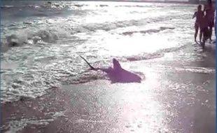 Le requin échoué sur la plage de la Baule