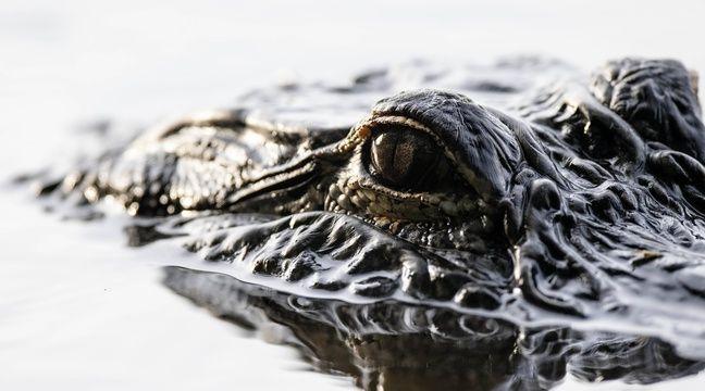 Saturne, alligator survivant des bombardements de Berlin, est mort à 84 ans