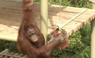 Un orang-outan déguste une glace au zoo de Séoul, en Corée du Sud, le 11 août 2015.