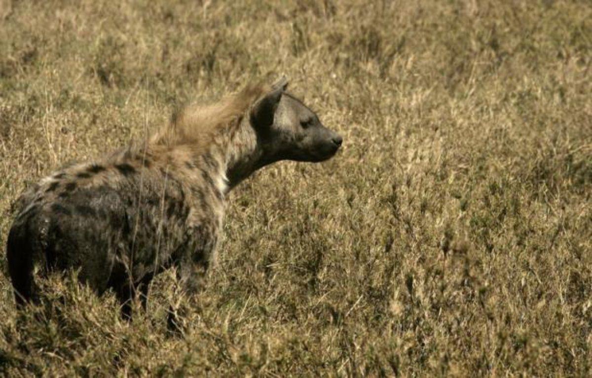 Des chercheurs français sont parvenus à reconstituer une partie du génome de la hyène des cavernes, une espèce préhistorique depuis longtemps disparue, à partir de ses seuls excréments, confirmant du même coup sa proche parenté avec la hyène tachetée actuelle. – Joseph Eid afp.com
