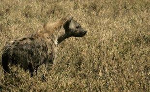 Des chercheurs français sont parvenus à reconstituer une partie du génome de la hyène des cavernes, une espèce préhistorique depuis longtemps disparue, à partir de ses seuls excréments, confirmant du même coup sa proche parenté avec la hyène tachetée actuelle.