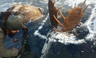 Deux élans ont été retrouvés congelés dans la glace d'un ruisseau, en Alaska, au début du mois de novembre 2016. La photo a fait le tour du Web.